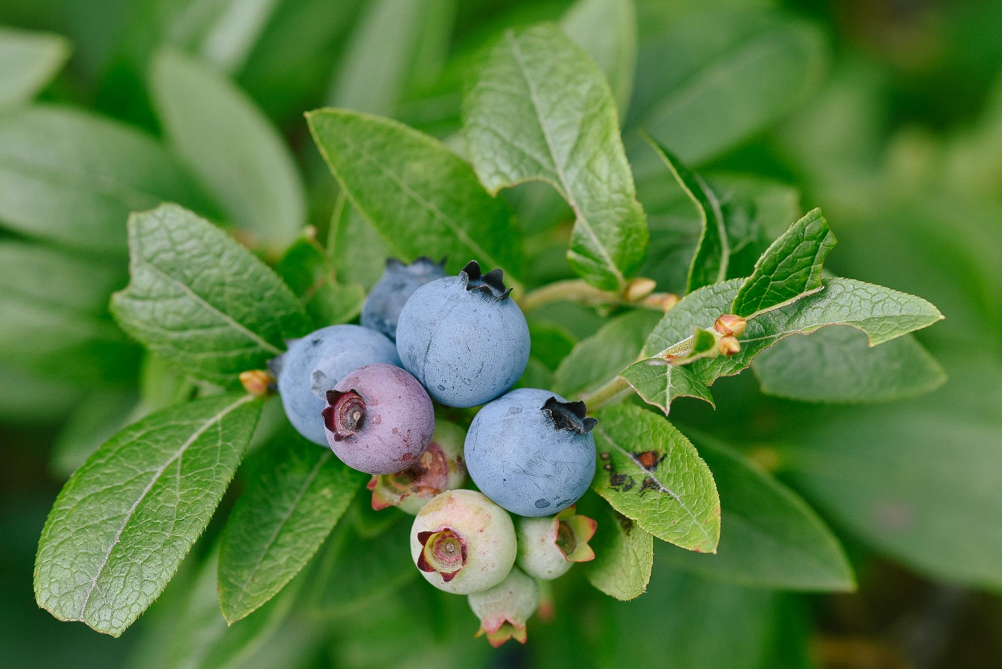 Low Bush Blueberry // Vaccinium angustifolium