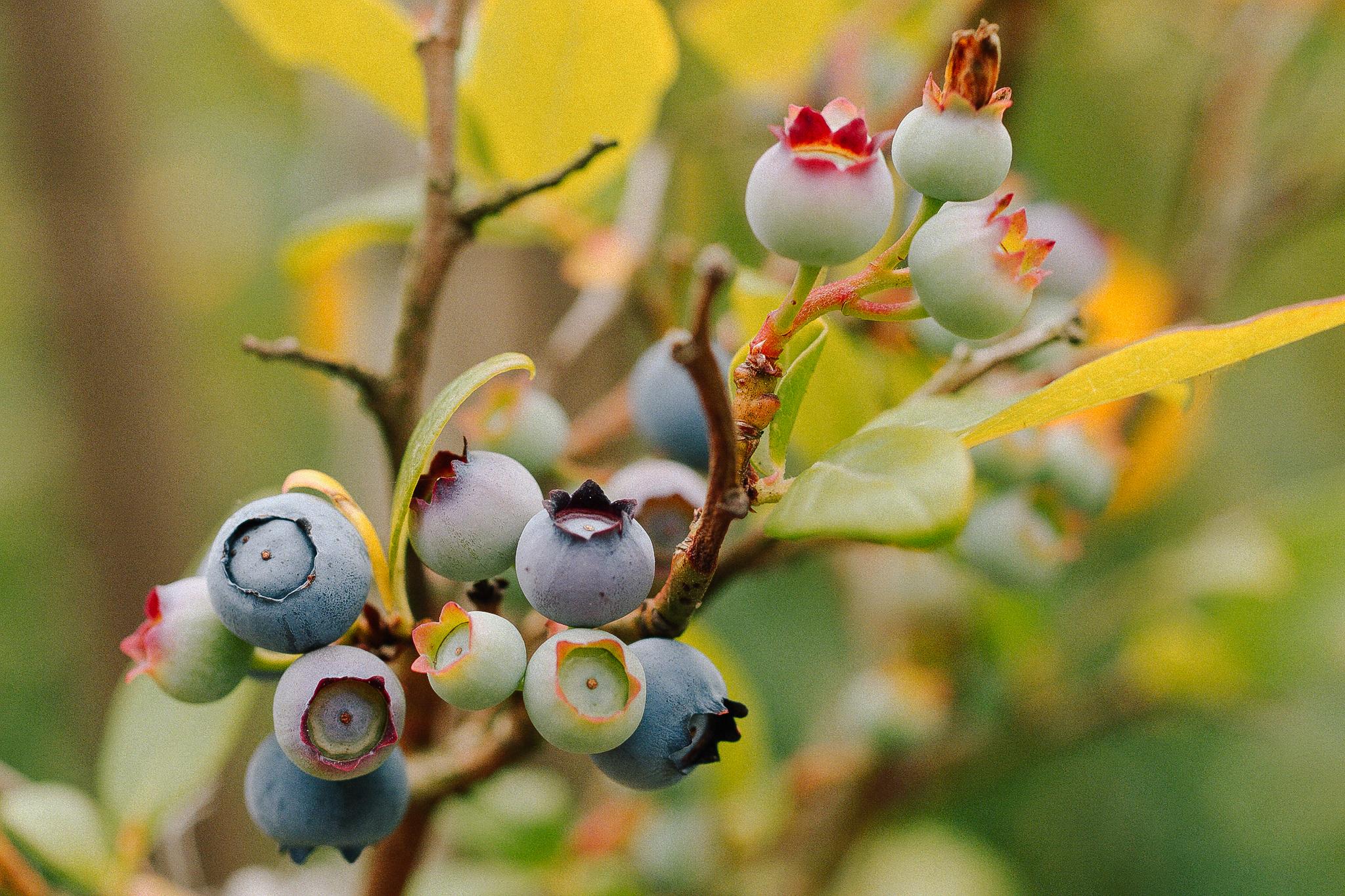 Highbush Blueberry // Vaccinium Corymbosum