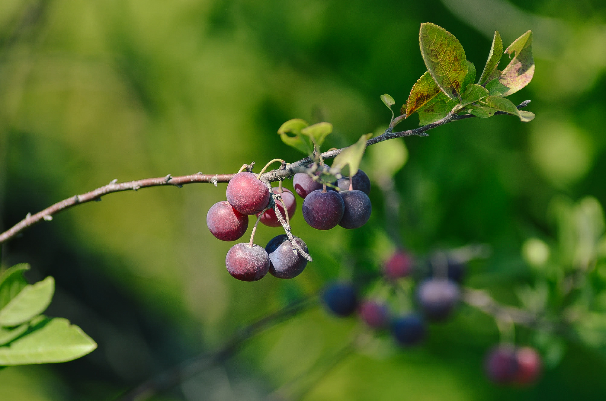 Beach Plum // Prunus maritima