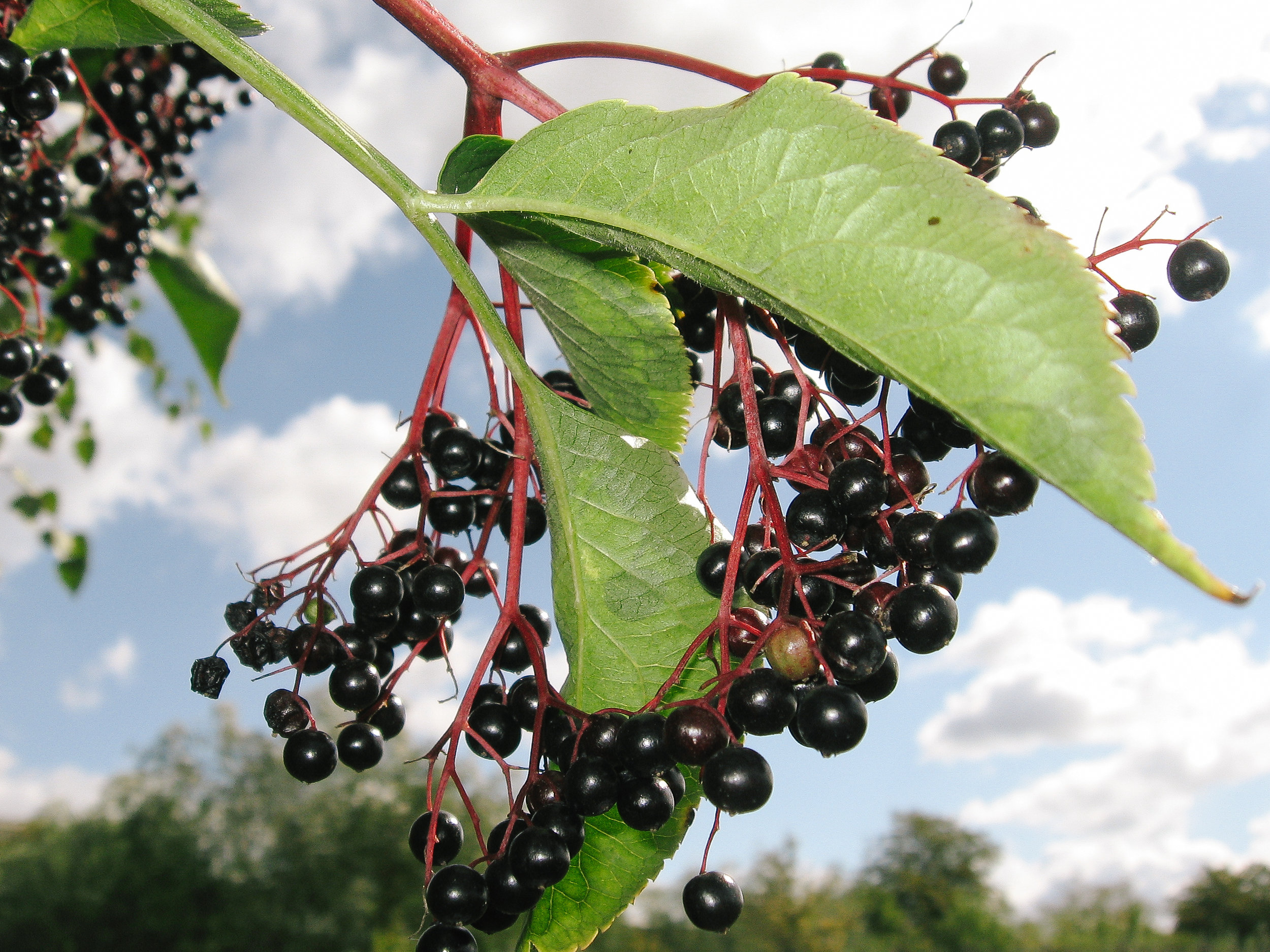 Elderberry // Sambucus canadensis