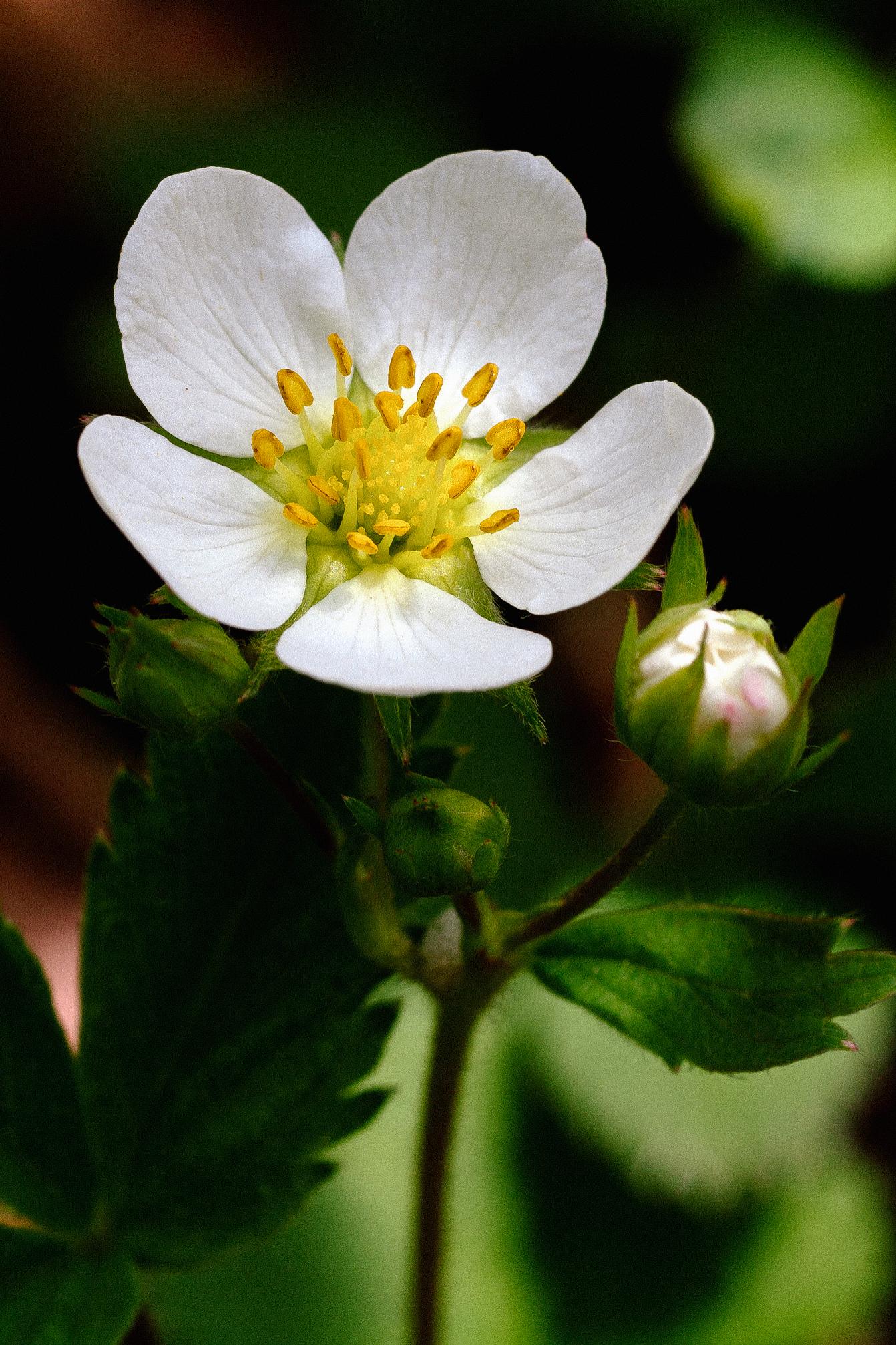 Wild Strawberry // Fragaria virginiana