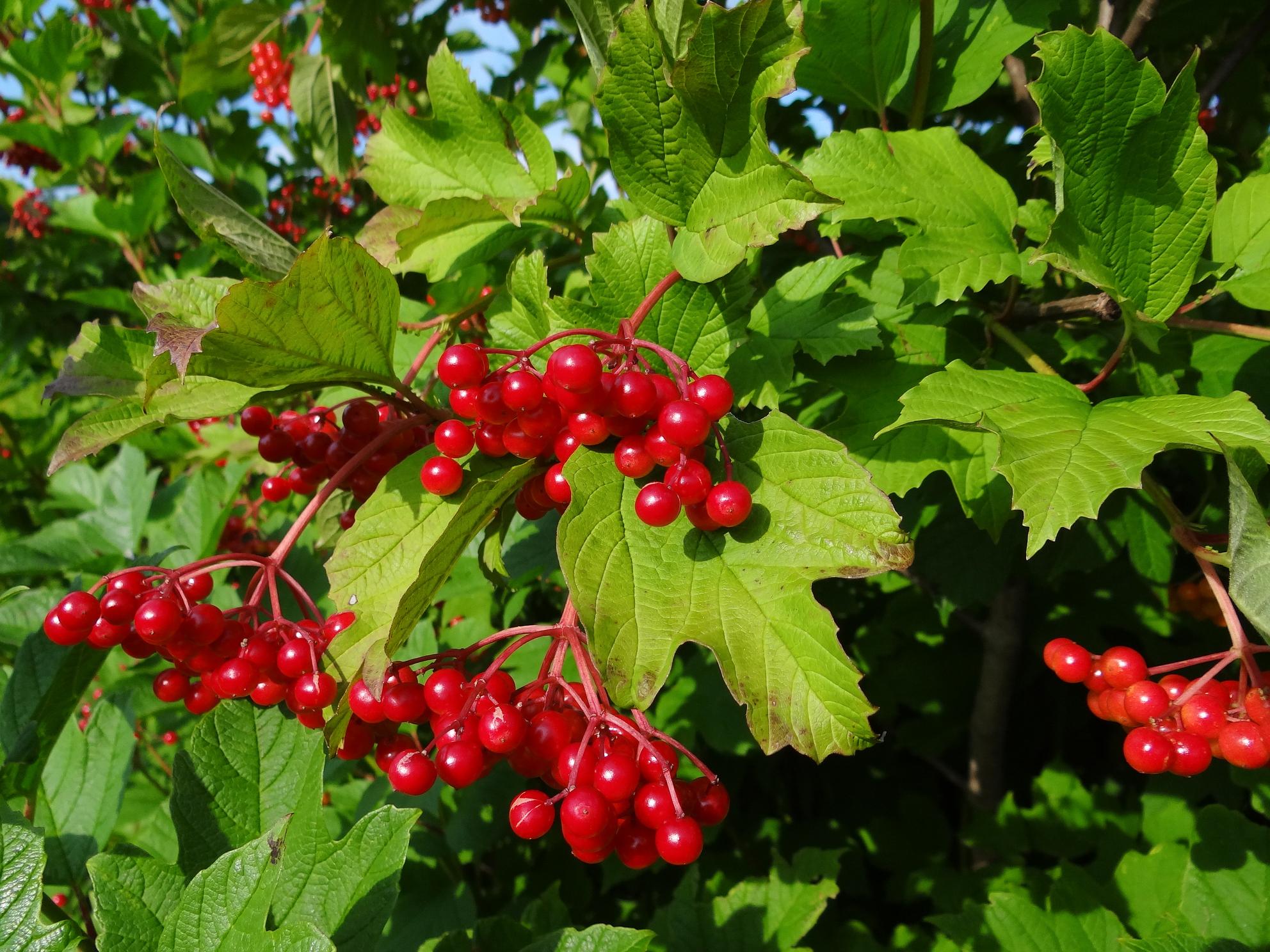 Highbush Cranberry // Viburnum trilobum