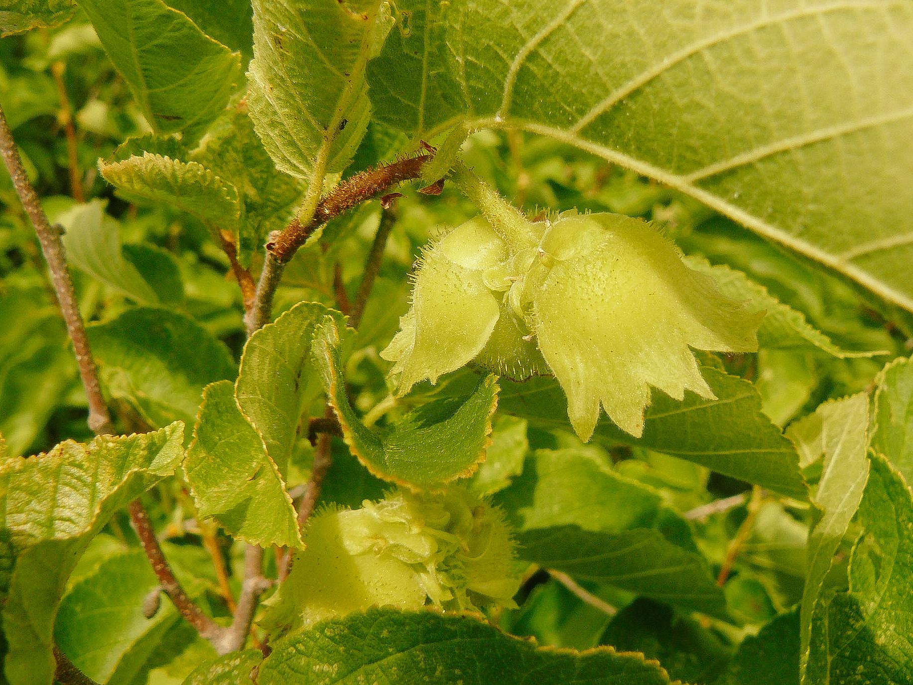 Hazelnut // Corylus americana