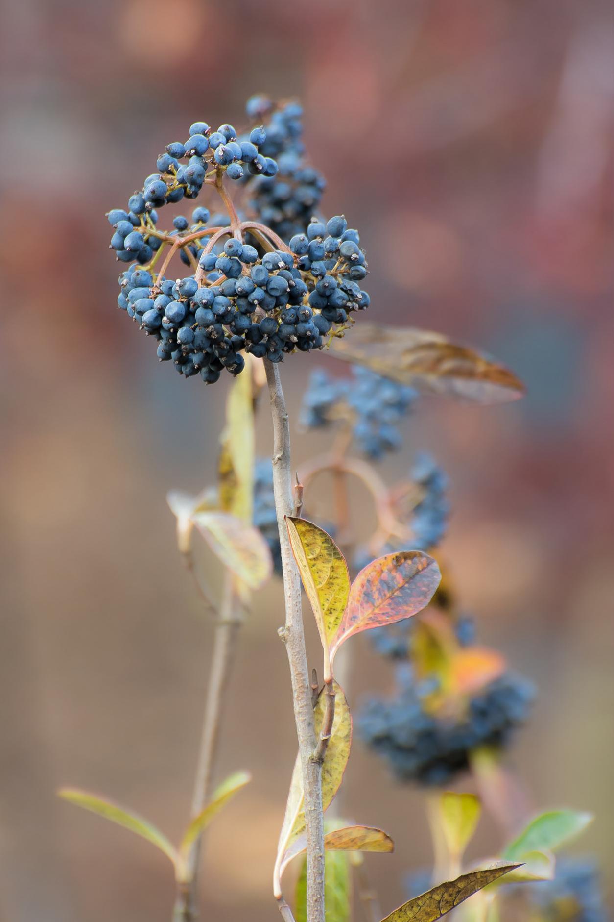 Wild-Raisin // Viburnum cassinoides