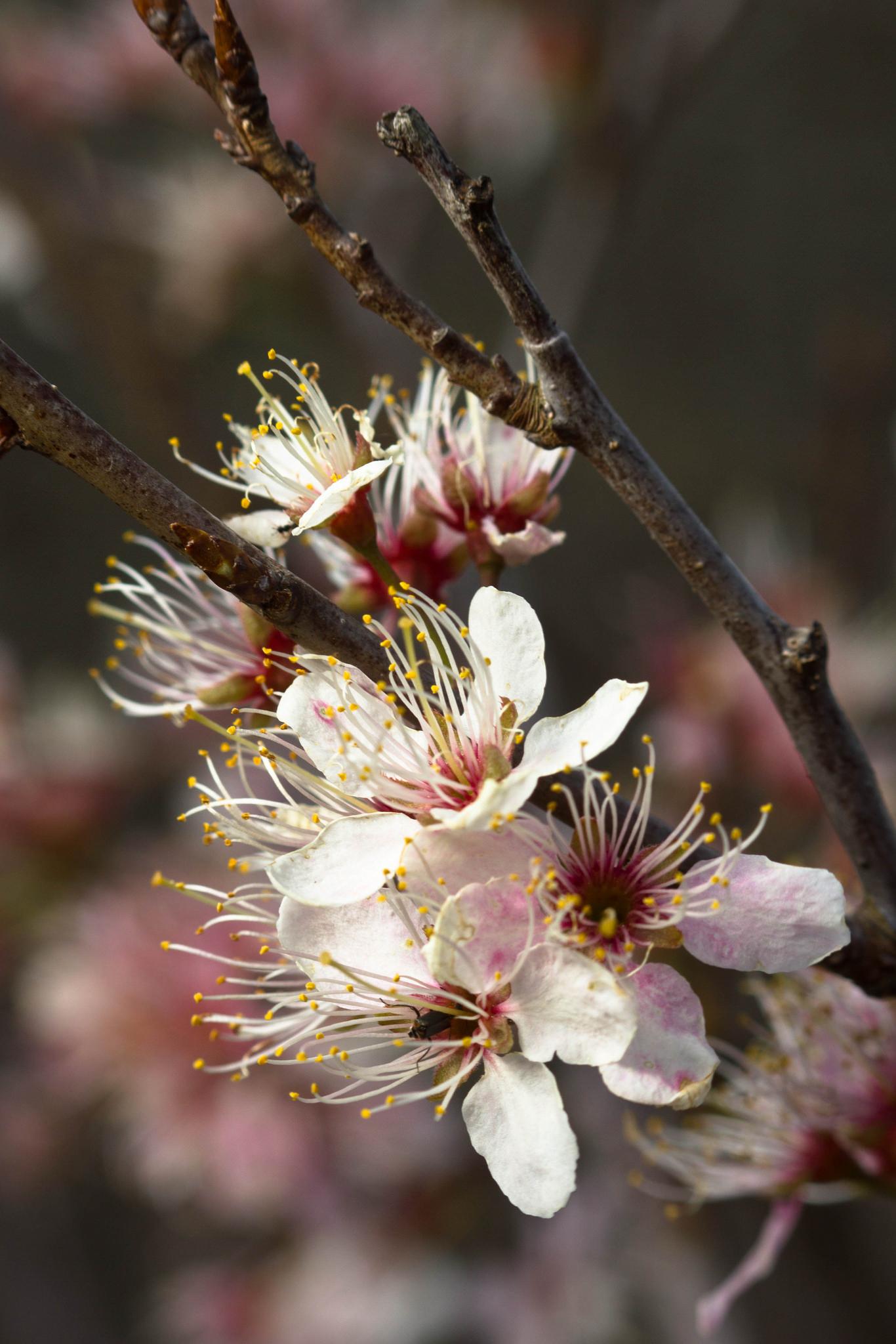 American Wild Plum // Prunus americana