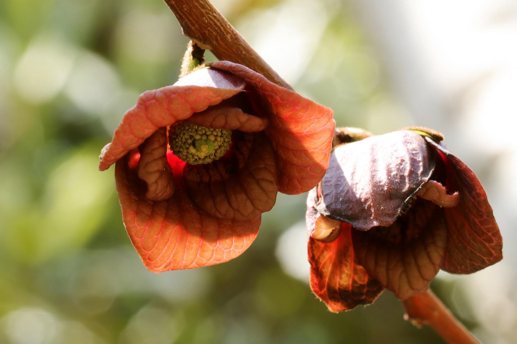 Pawpaw // Asimina triloba