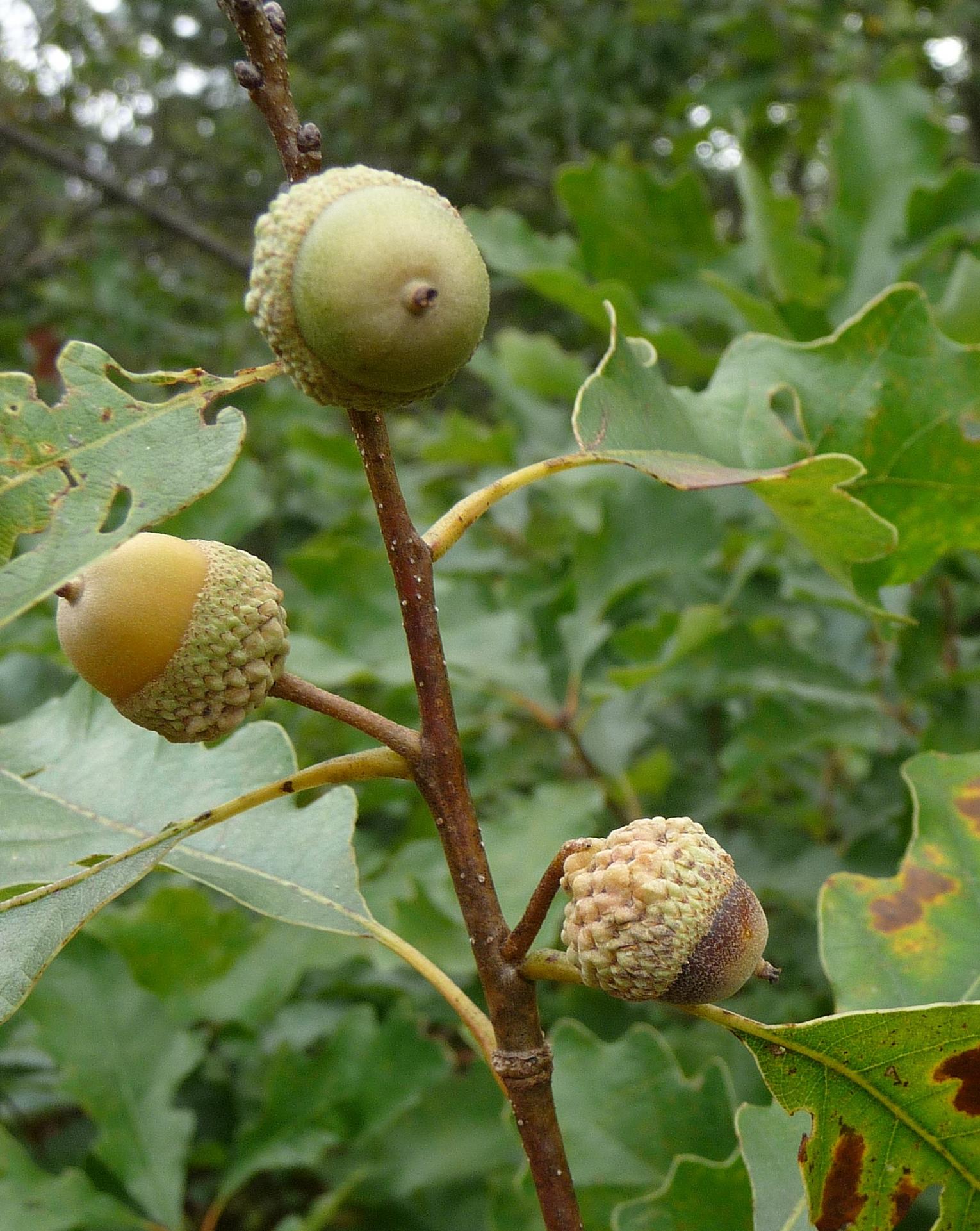 Dwarf Chinquapin Oak // Quercus prinoides