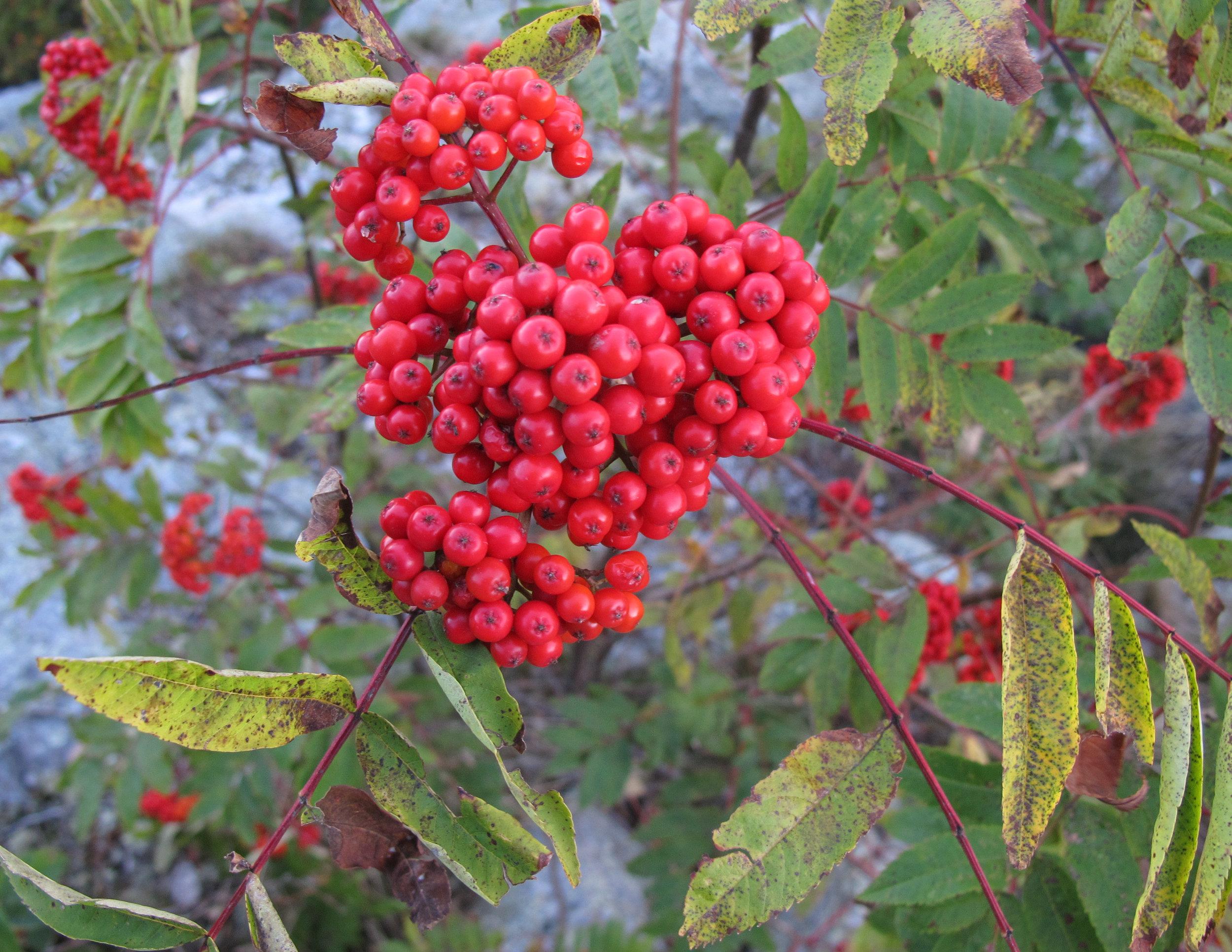 American Mountain Ash //Sorbus americana