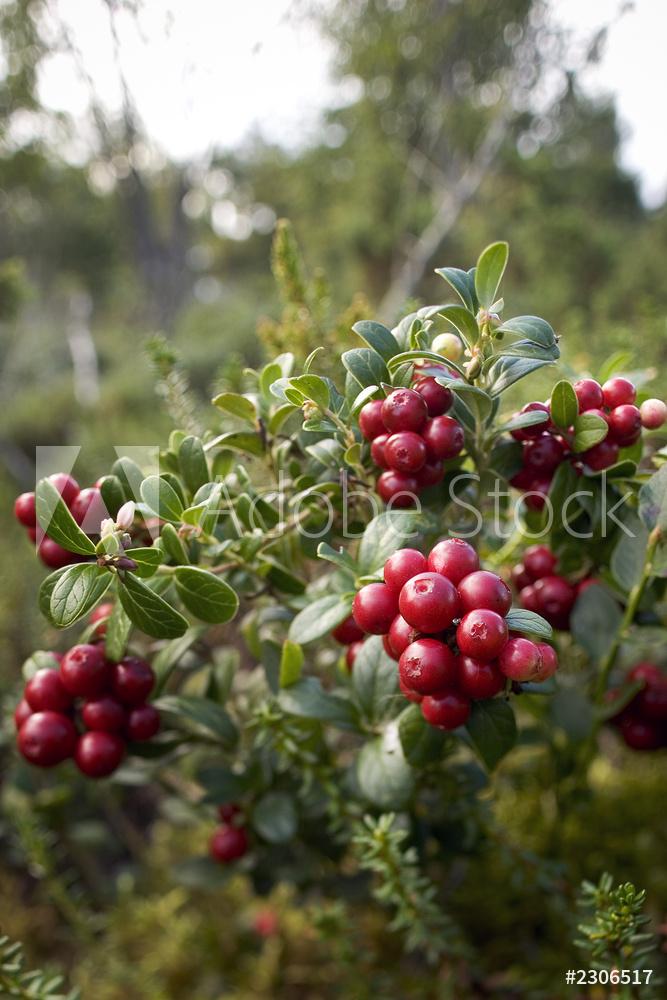 AdobeStock_2306517_Preview_lingonberry.jpeg