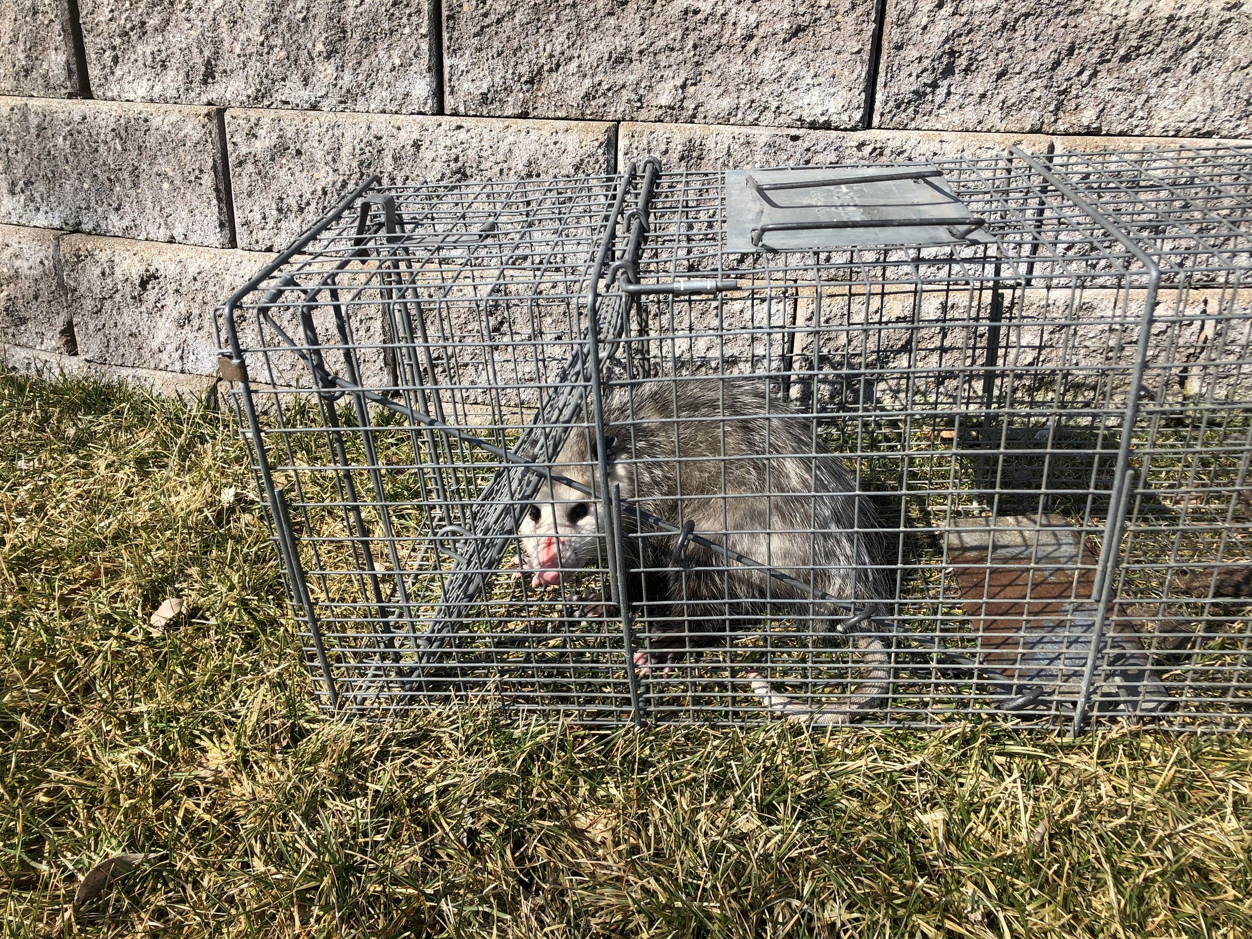 Opossum was a frequent visitor to the trash cans.