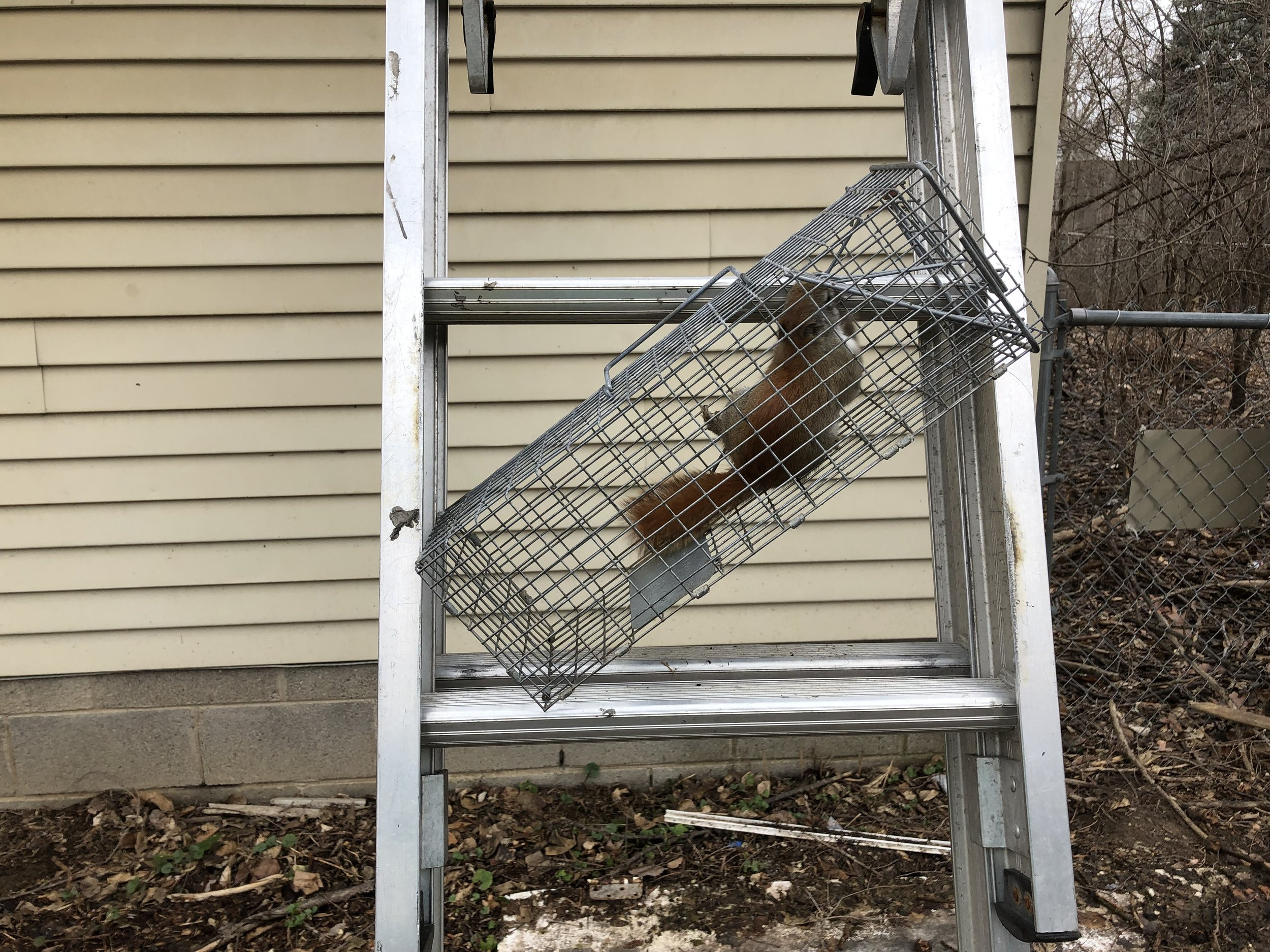 Red Squirrel moved in just before spring.