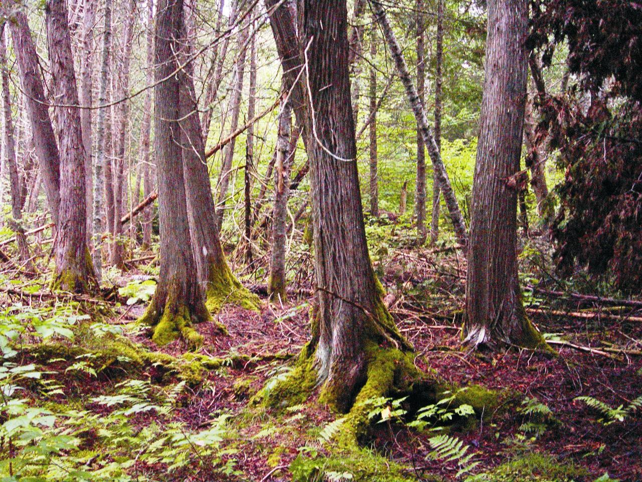 cedar_forest.jpg