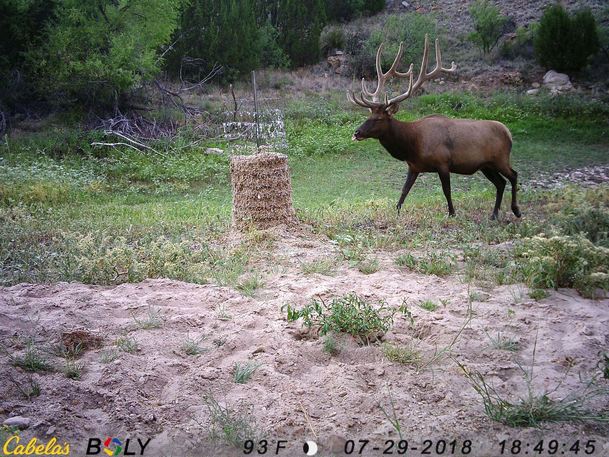 Elk eating Fortified Cottonseed