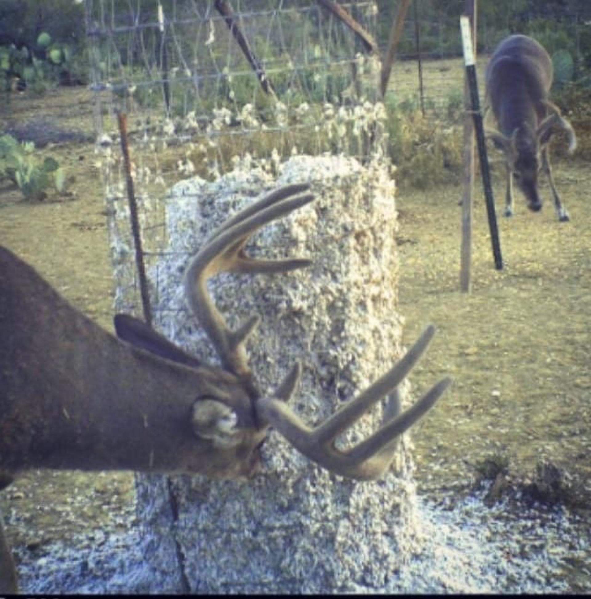 Deer eating Fortified Cottonseed