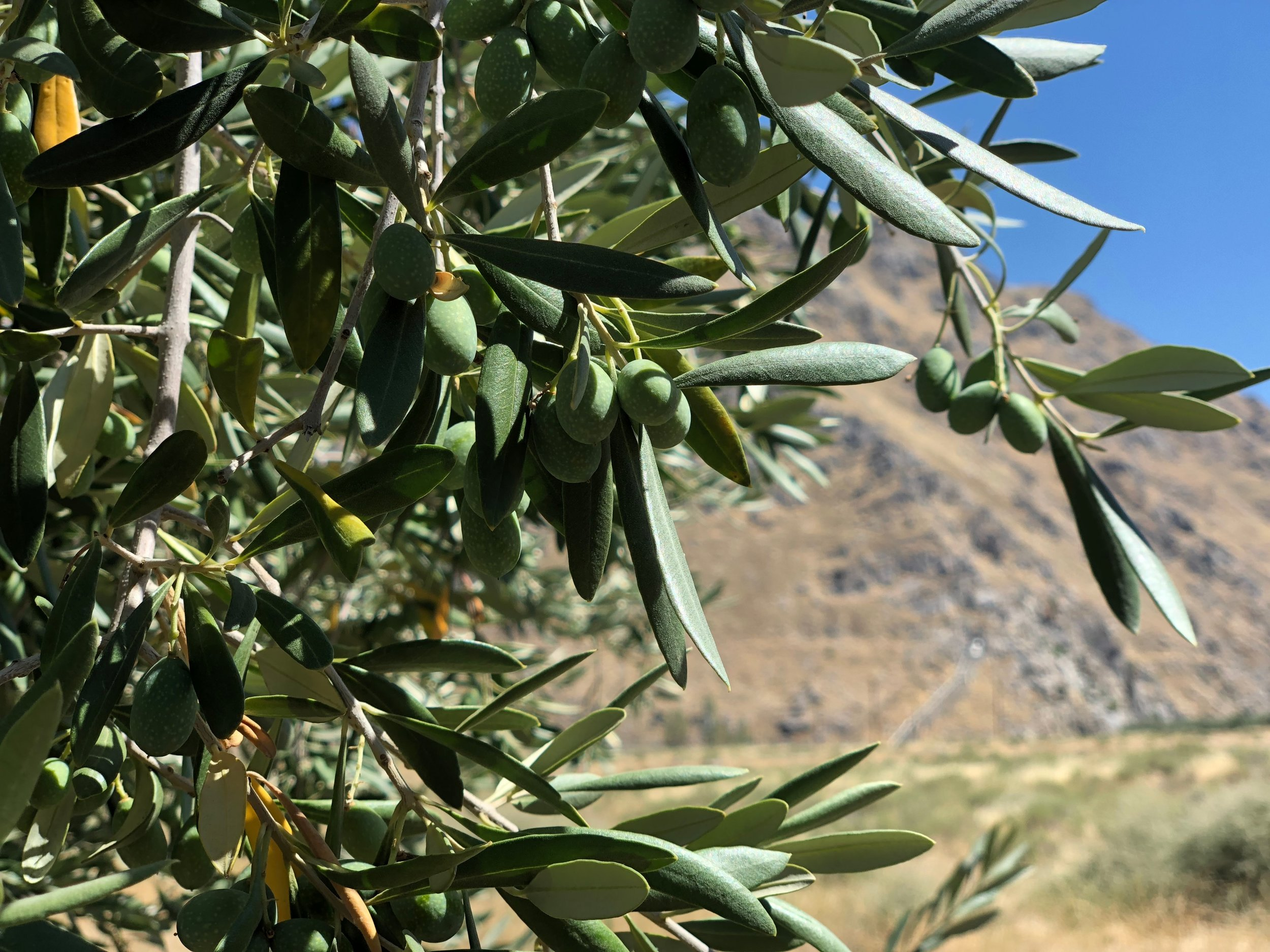 Picual olives on the tree at Rio Bravo Ranch in Bakersfield on June 29, 2019. (Noelle Carter)