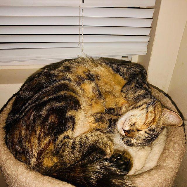 My Precious Kitten, Little Xochie Bear. She is such a love, a joy, and brings so much beauty wherever she goes! Love my precious princess kitten! #cats #lovecats #shamancat #animalsheal #preciousmoments