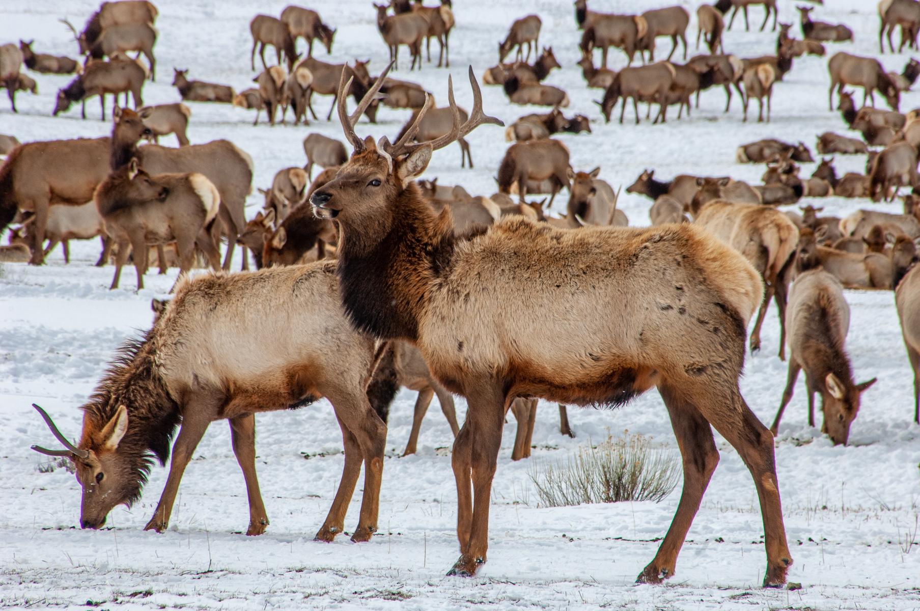 National Elk Refuge 2007-0732.jpg