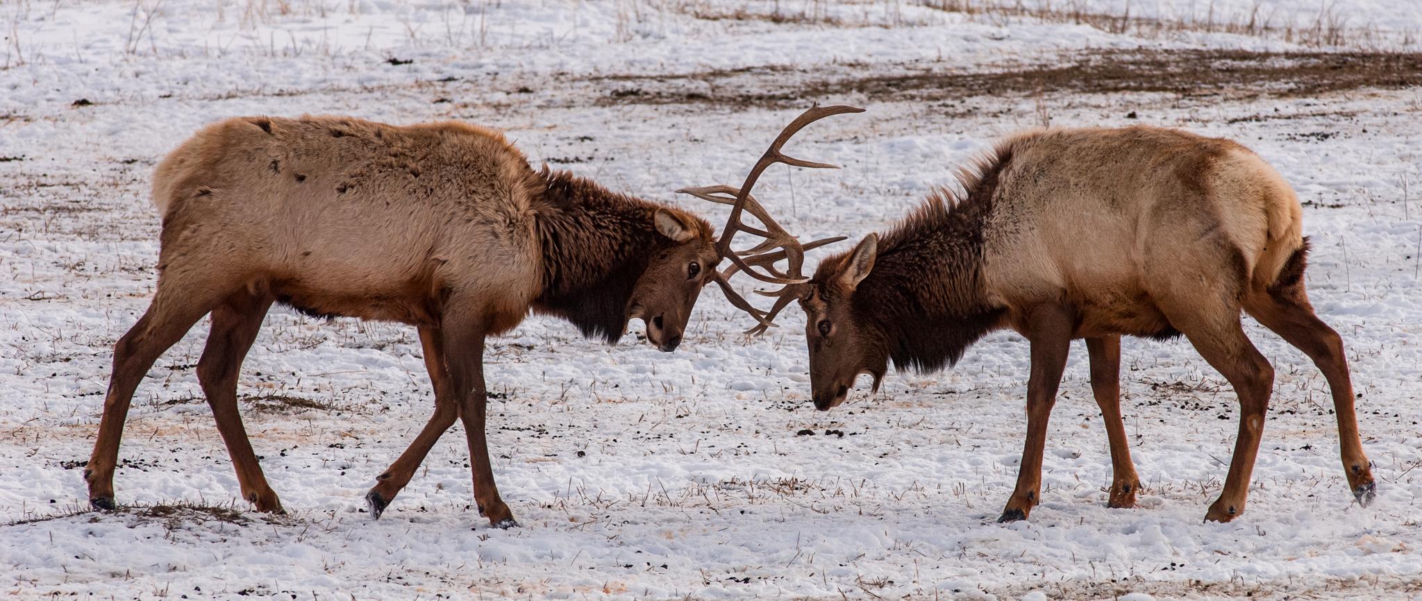 National Elk Refuge 2007-1128.jpg
