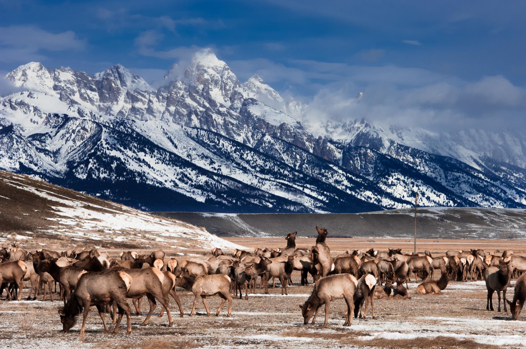 National Elk Refuge 2007-0610.jpg