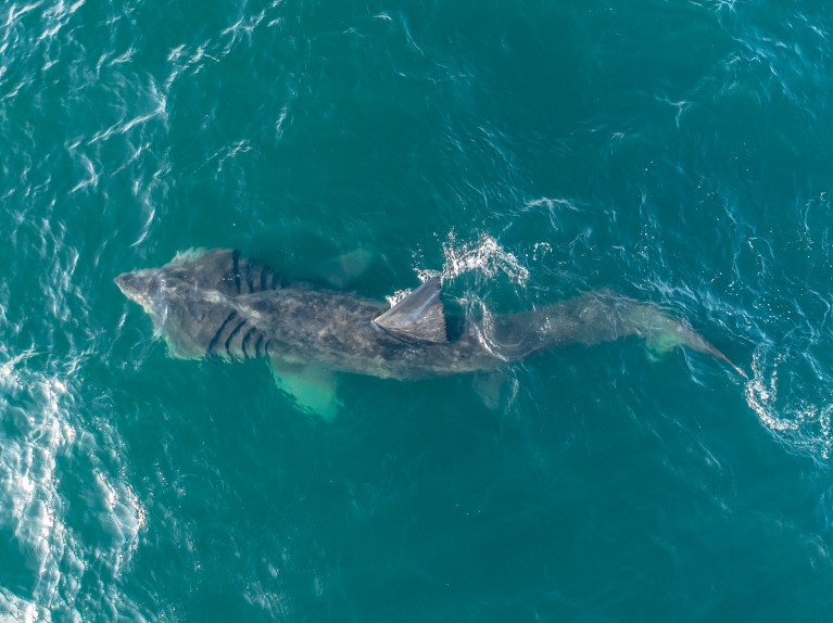 ARTICLE: Sharks as big as a bus seen off Southern California coast after 30-year hiatus