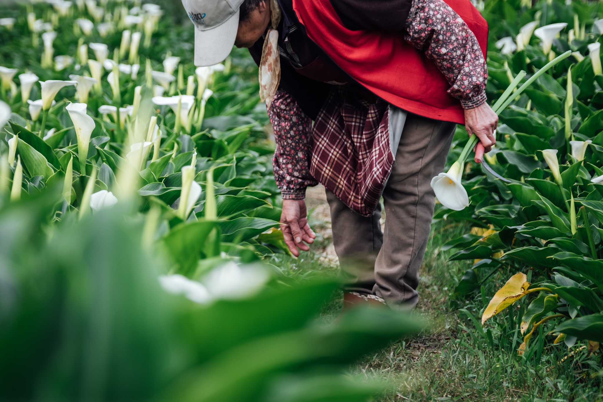Flower picker in a sea of Calla Lilies at Zhuzihu in Yangmingshan National Park