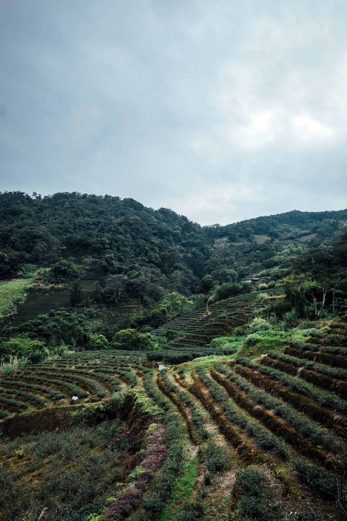 - Once you go up the mountain, you can see lots of tea plantations built along the terrain.