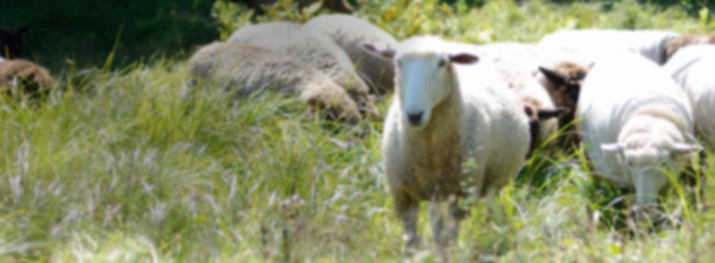RegisterYour Sheep -