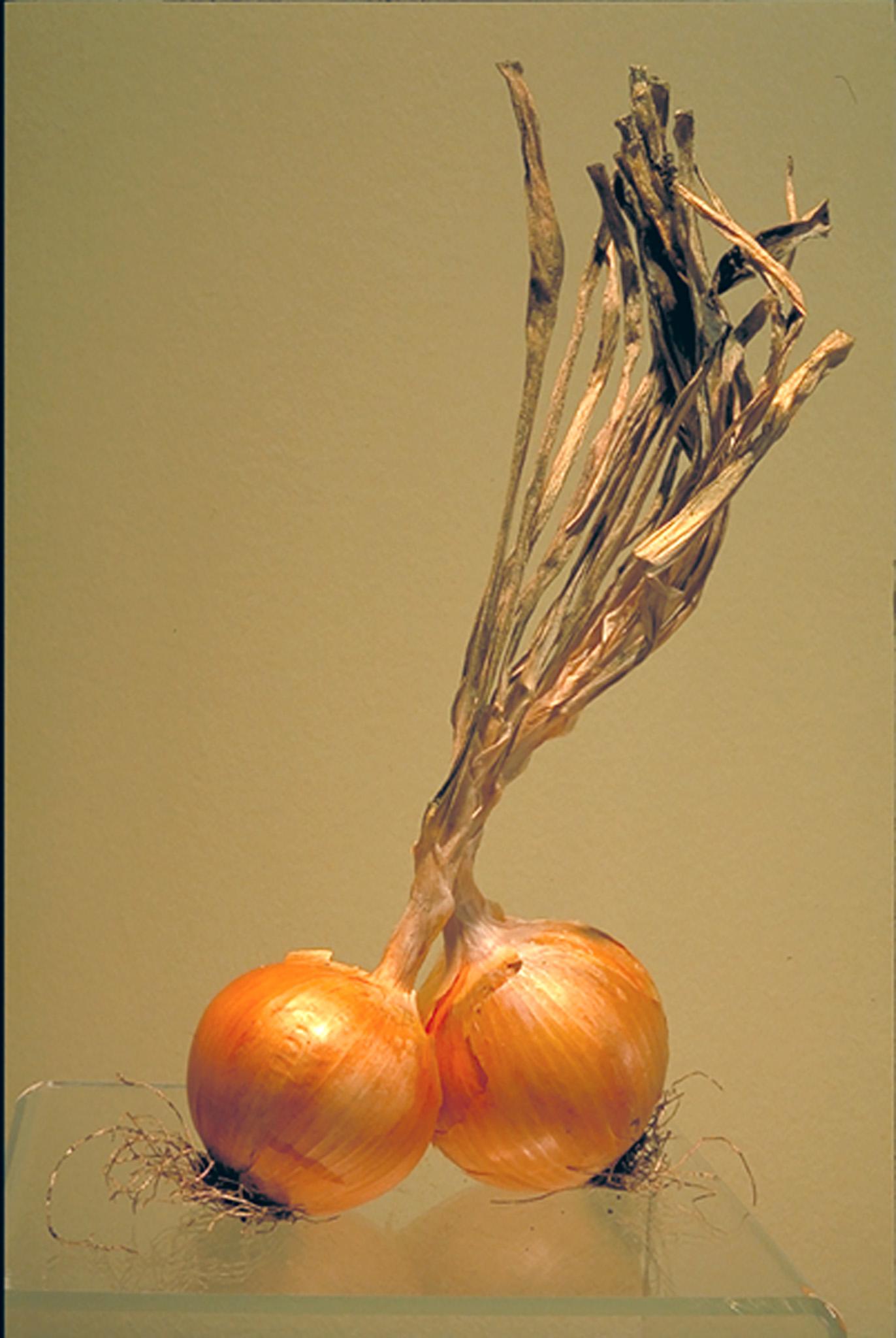 Onions, 2001