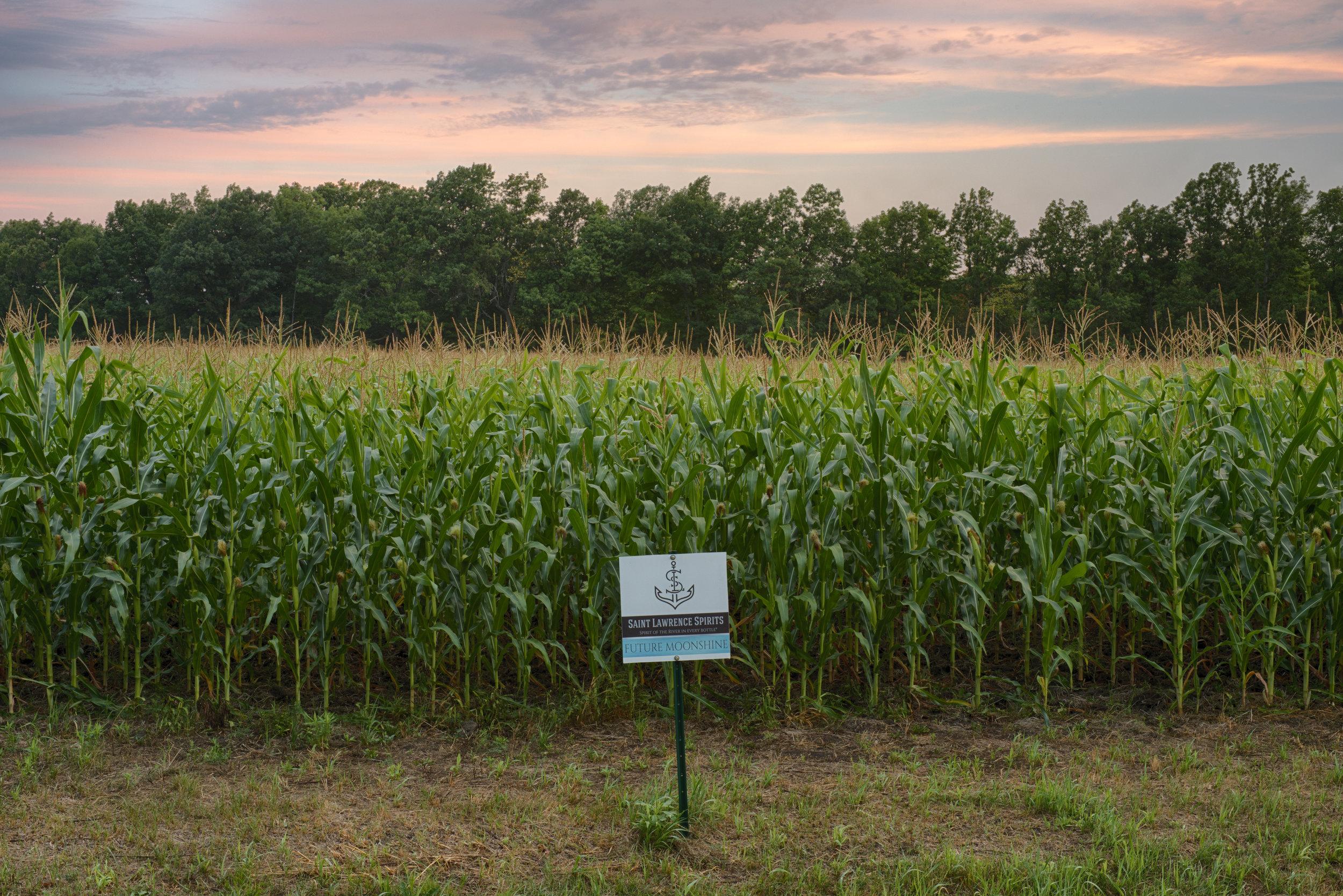 corn3 copy.jpg