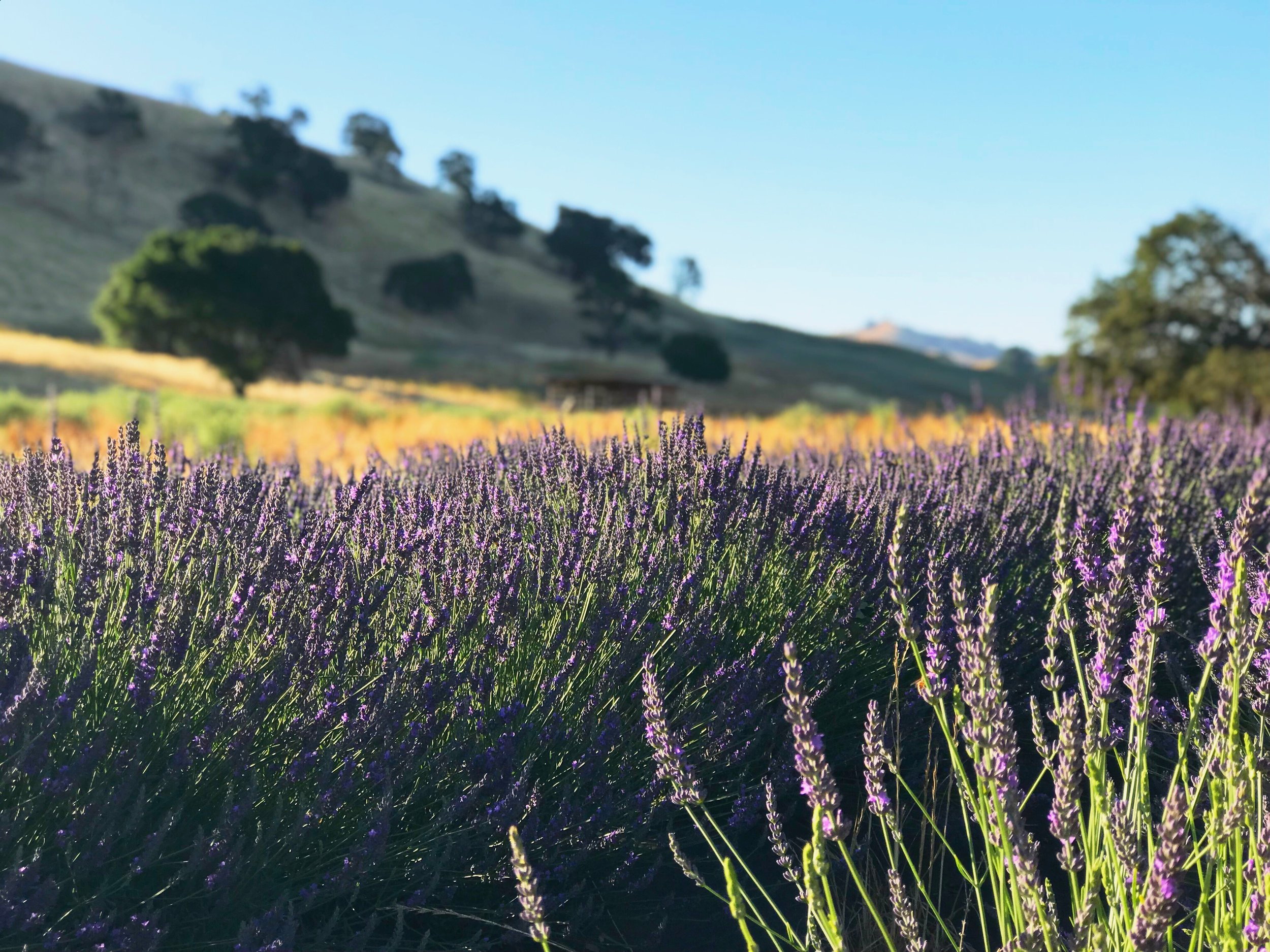 Soul Food Farm Lavender Fields