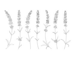 rsz_1rsz_lavender-vector-2smaller.png