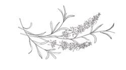 rsz_lavender_vector_1+%281%29.jpg