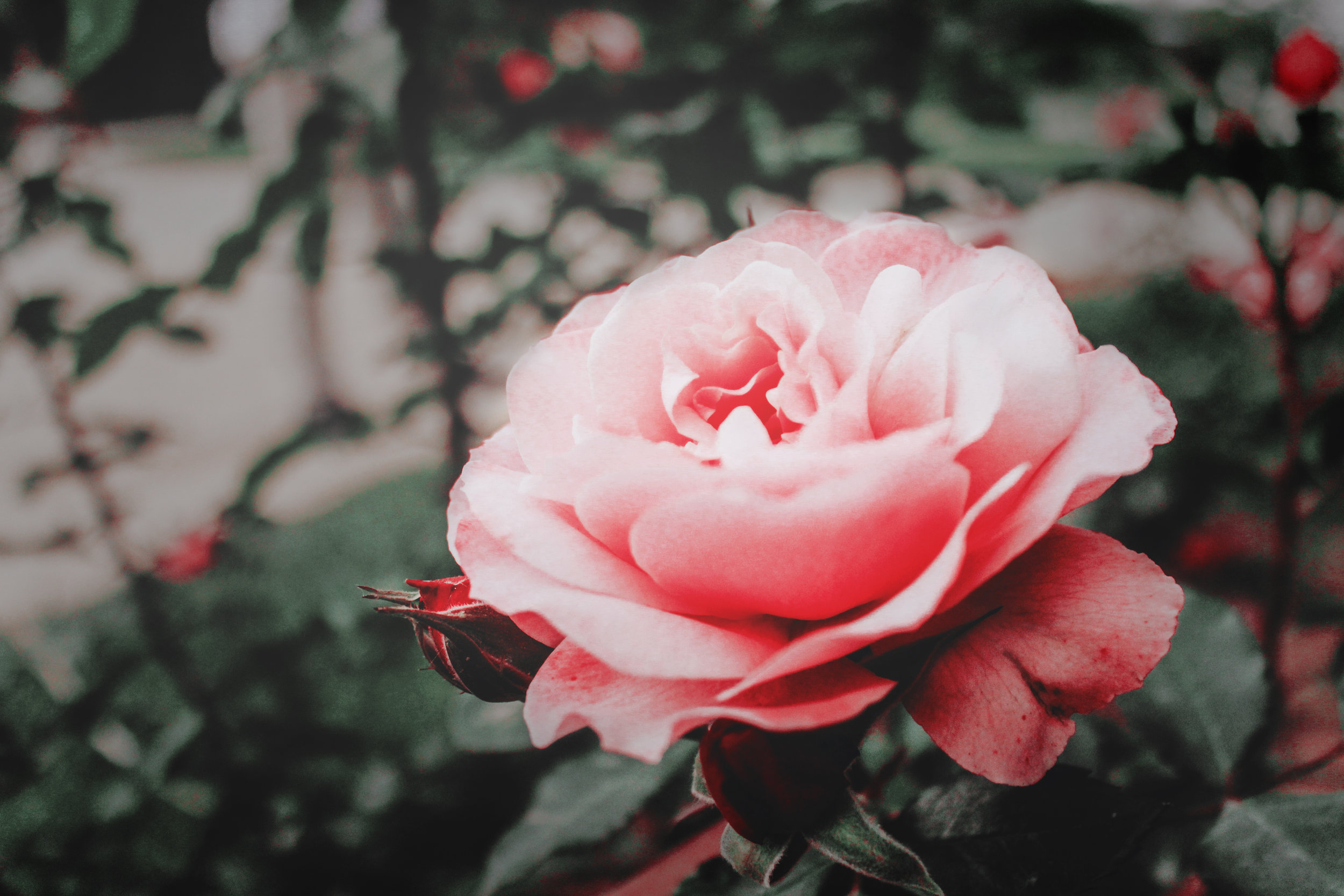 Roses help to move energy -