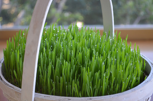 Grow your own grass for your easter basket