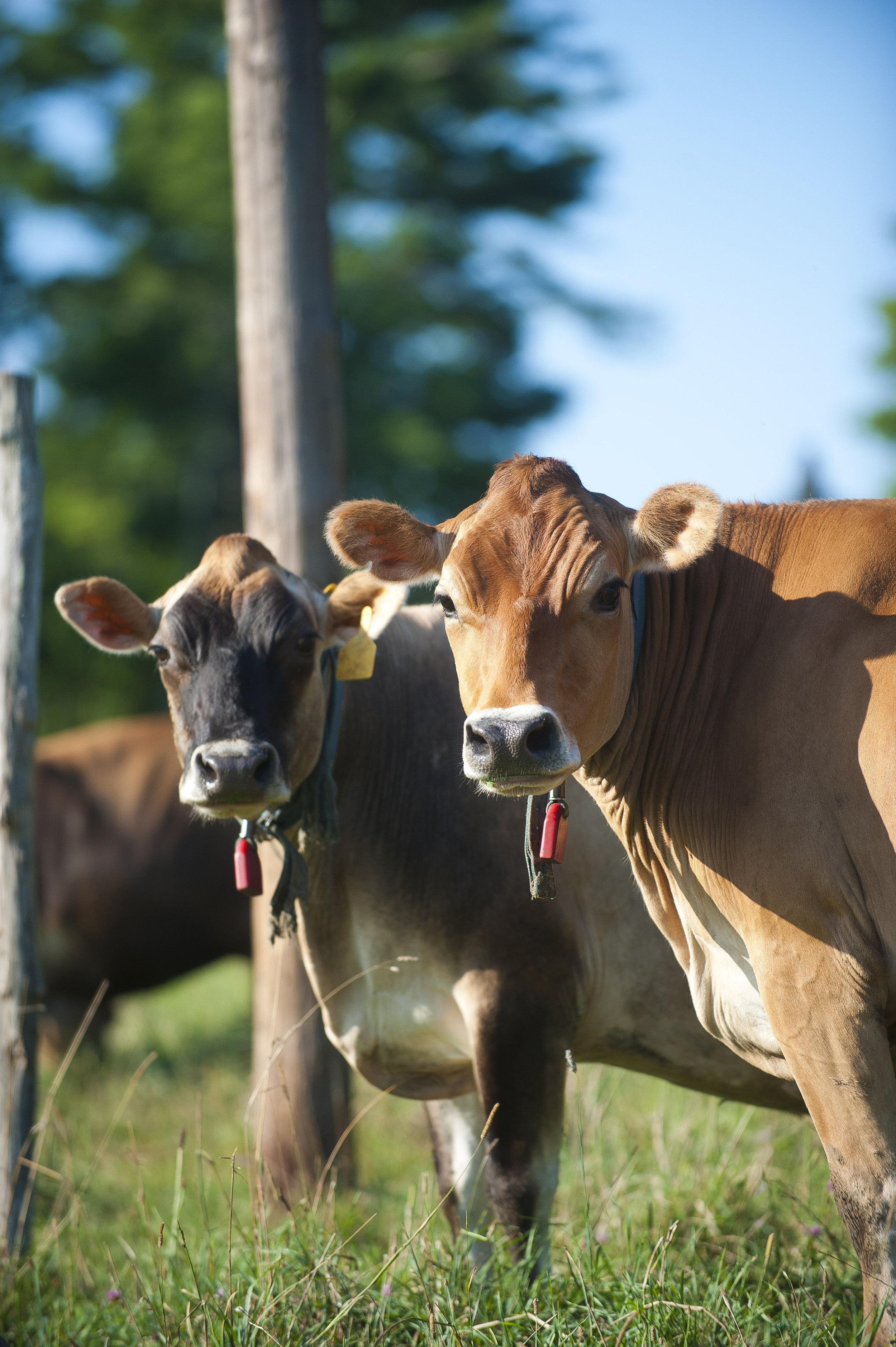 high_lawn_farm_jersey_cows