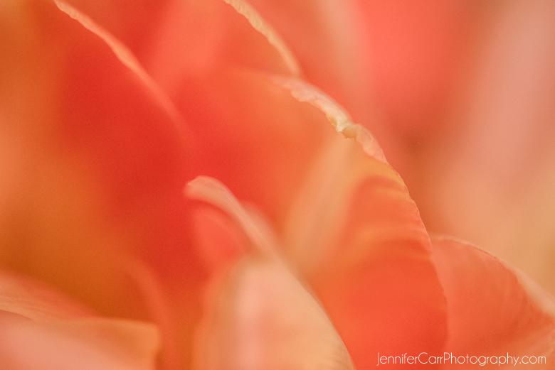 orange peach tulip macro photograph