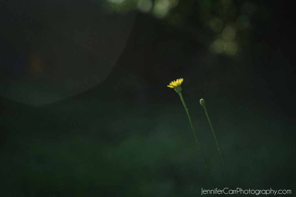 dandelion, green, yellow