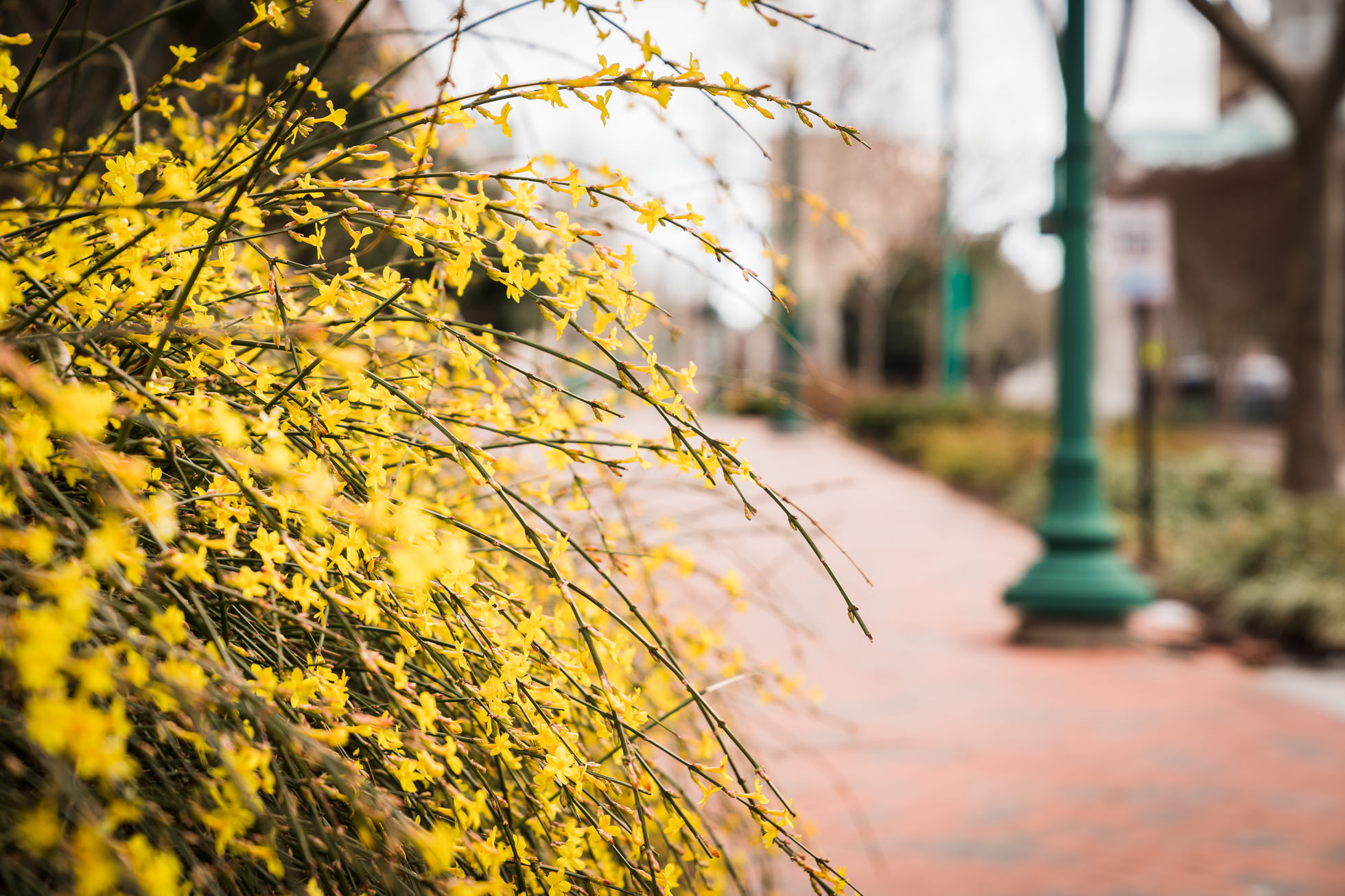Forsythia, norfolk photography, spring photographs