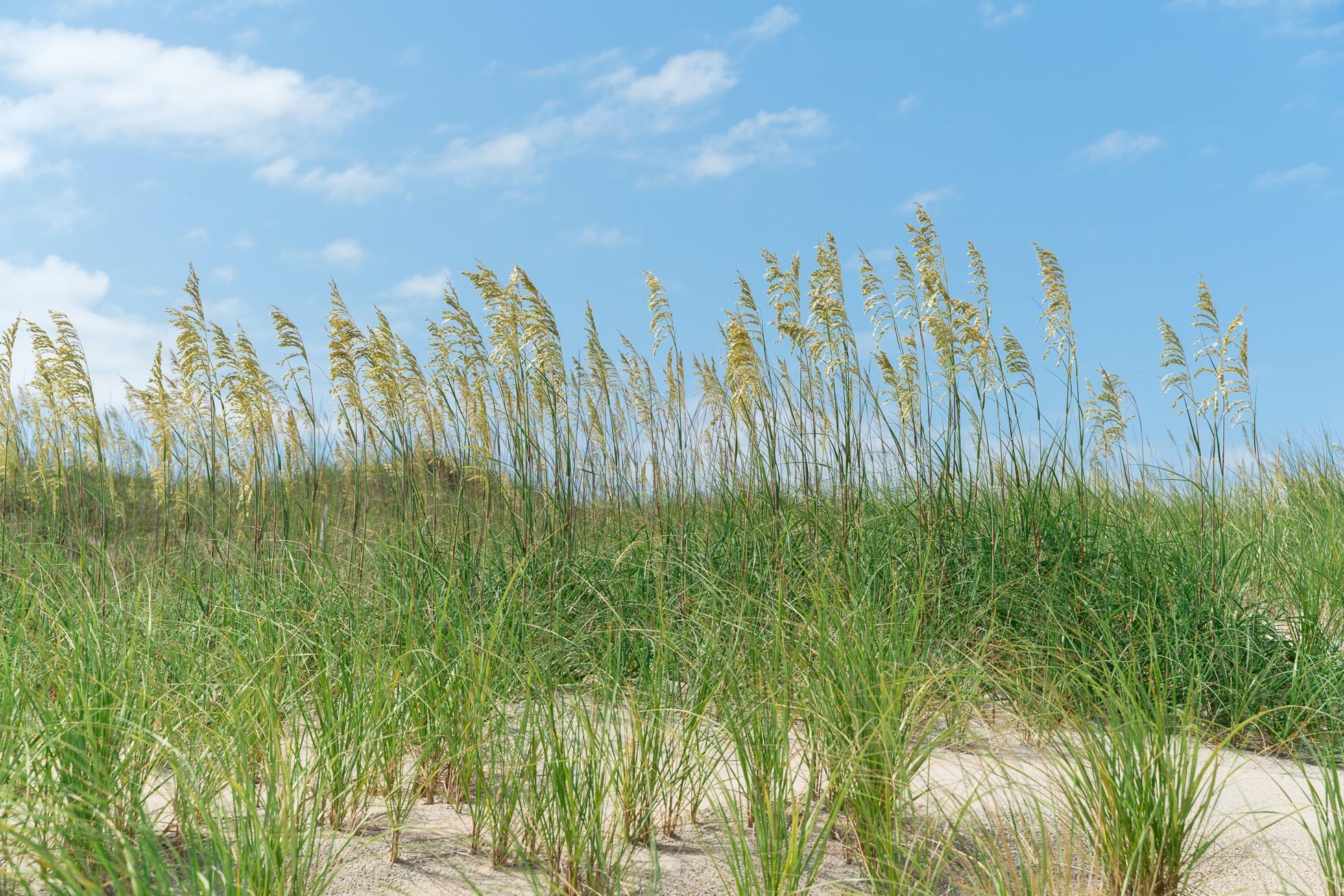 frisco sand dunes, cape hatteras, outer banks
