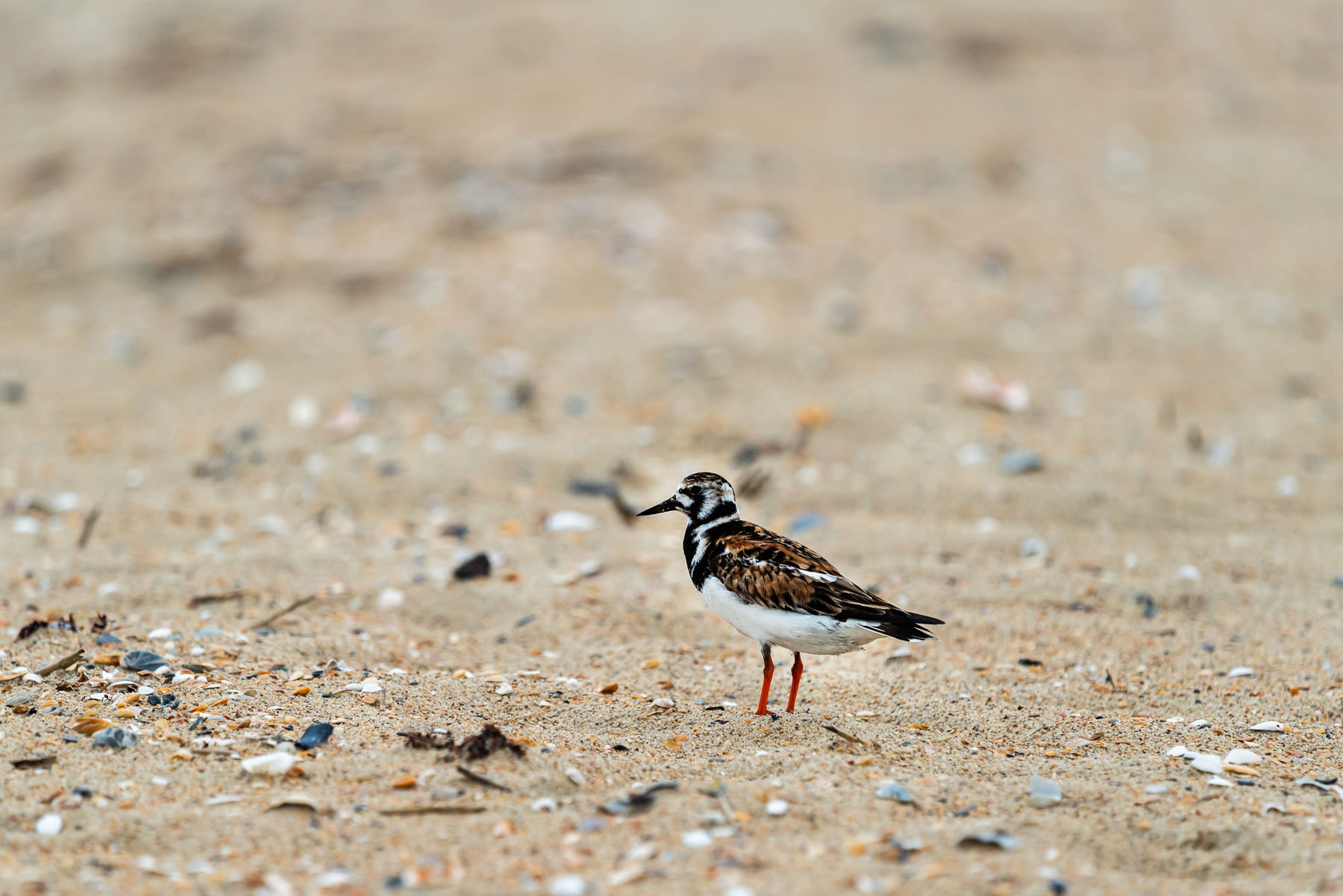 2018.05.30 Piping Plover © Jennifer Carr Photography.jpg