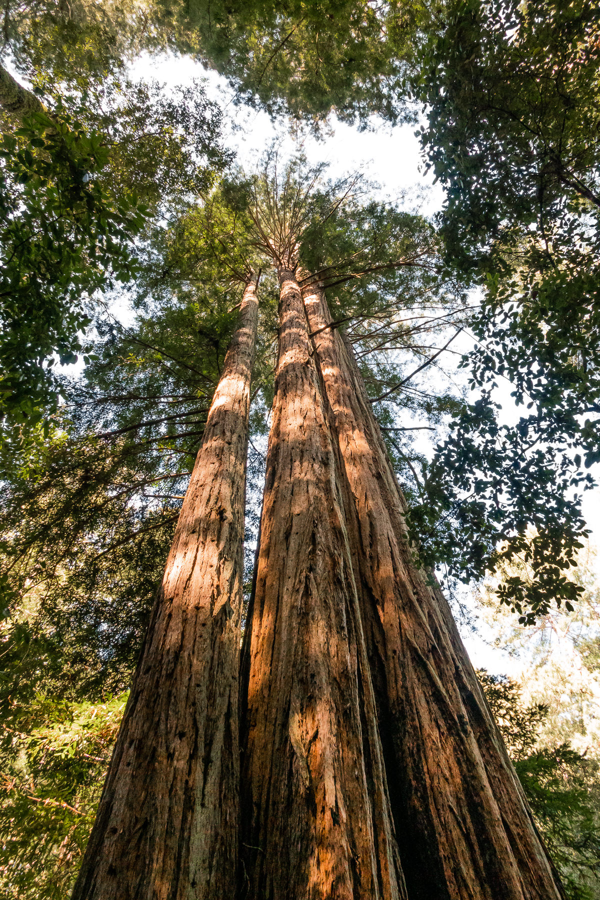 2019.03.30 Big Basin Redwoods State Park © Jennifer Carr Photography-10.jpg