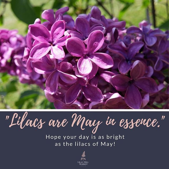 Happy May Day! #lilacs #lilachillmarket #lilacfestival #springtime #smallbusiness #familybusiness #roc #upstateny #585 #shoplocal