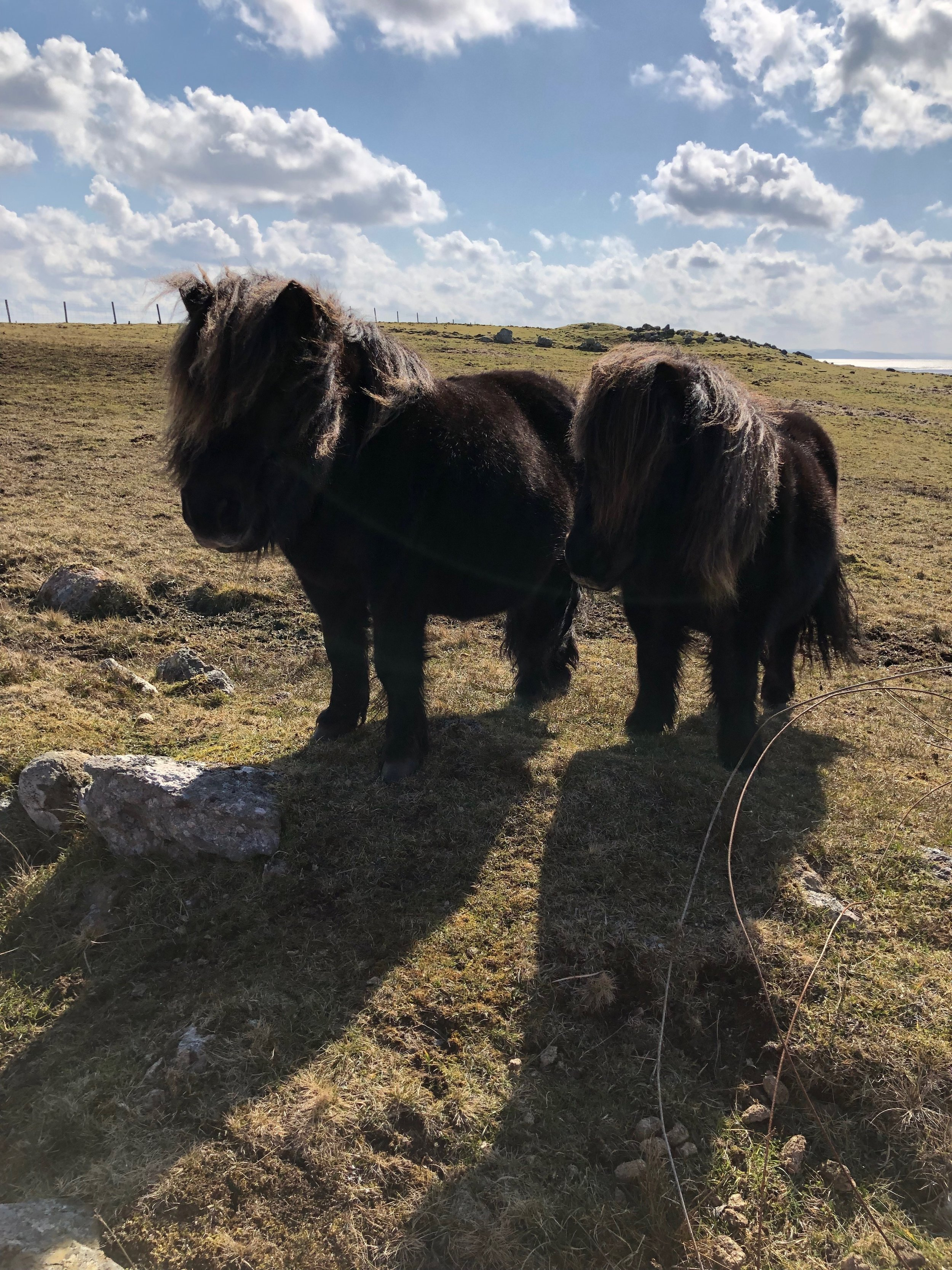For at least 4000 years, in comparative isolation, these fascinating small ponies have roamed the exposed hills and moors of Shetland.