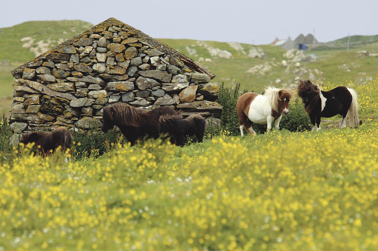 Shetlands courtesy of  Shetland