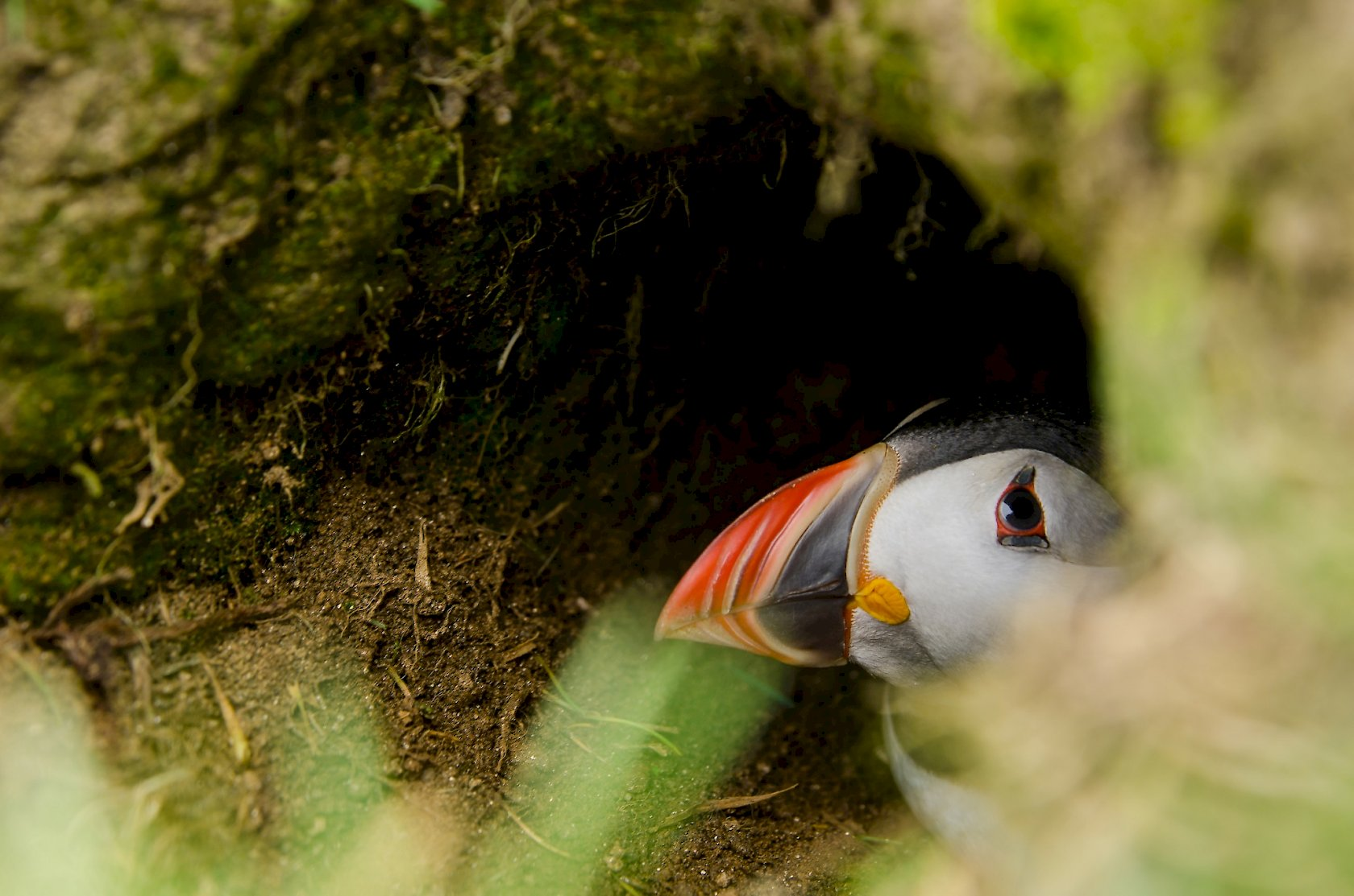 My favorite, the puffin. Pic courtesy of  Shetland