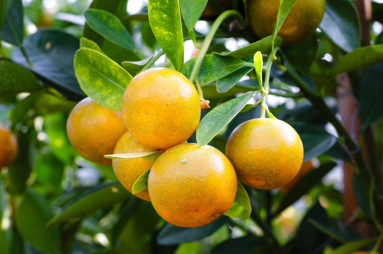 agriculture-branch-citrus-2135677-1500.jpg