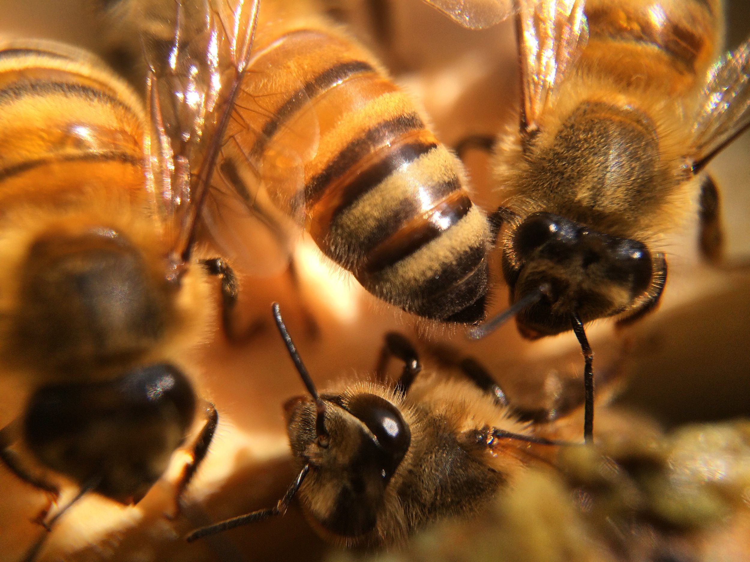 Macro x14 magnification of worker bees.