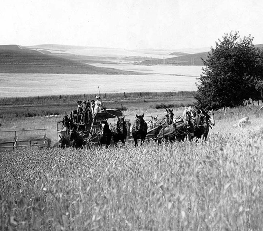 Wheat harvest with horse-drawn combine, Spokane County, ca. 1909   Courtesy UW Special Collections (UW1664)