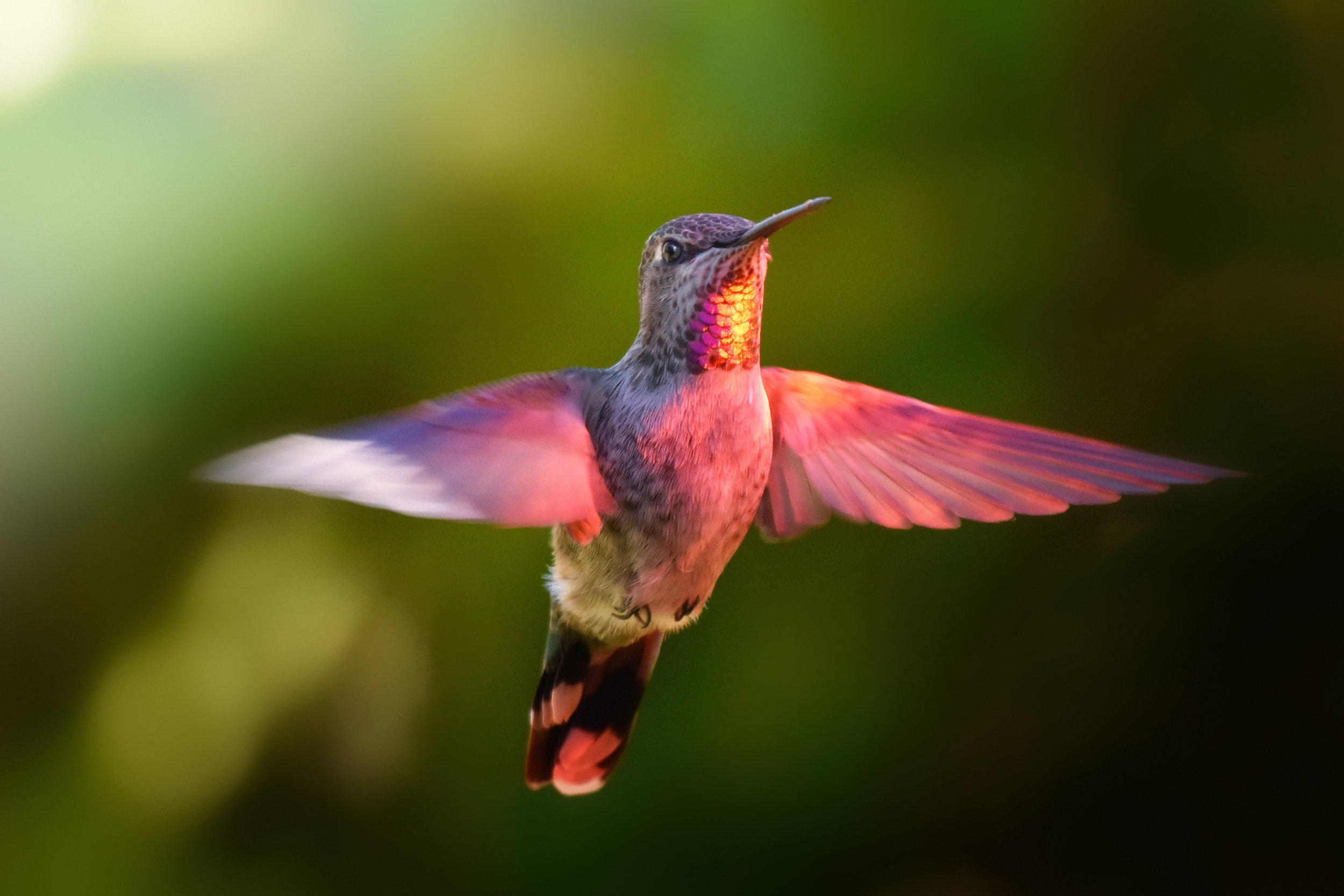 Hummingbird - Image provided by: Alberto GuillenWILDLIFE PHOTOGRAPHY AND ARTContact Alberto for photo inquiry at:Email: jaguillen@centurylink.net