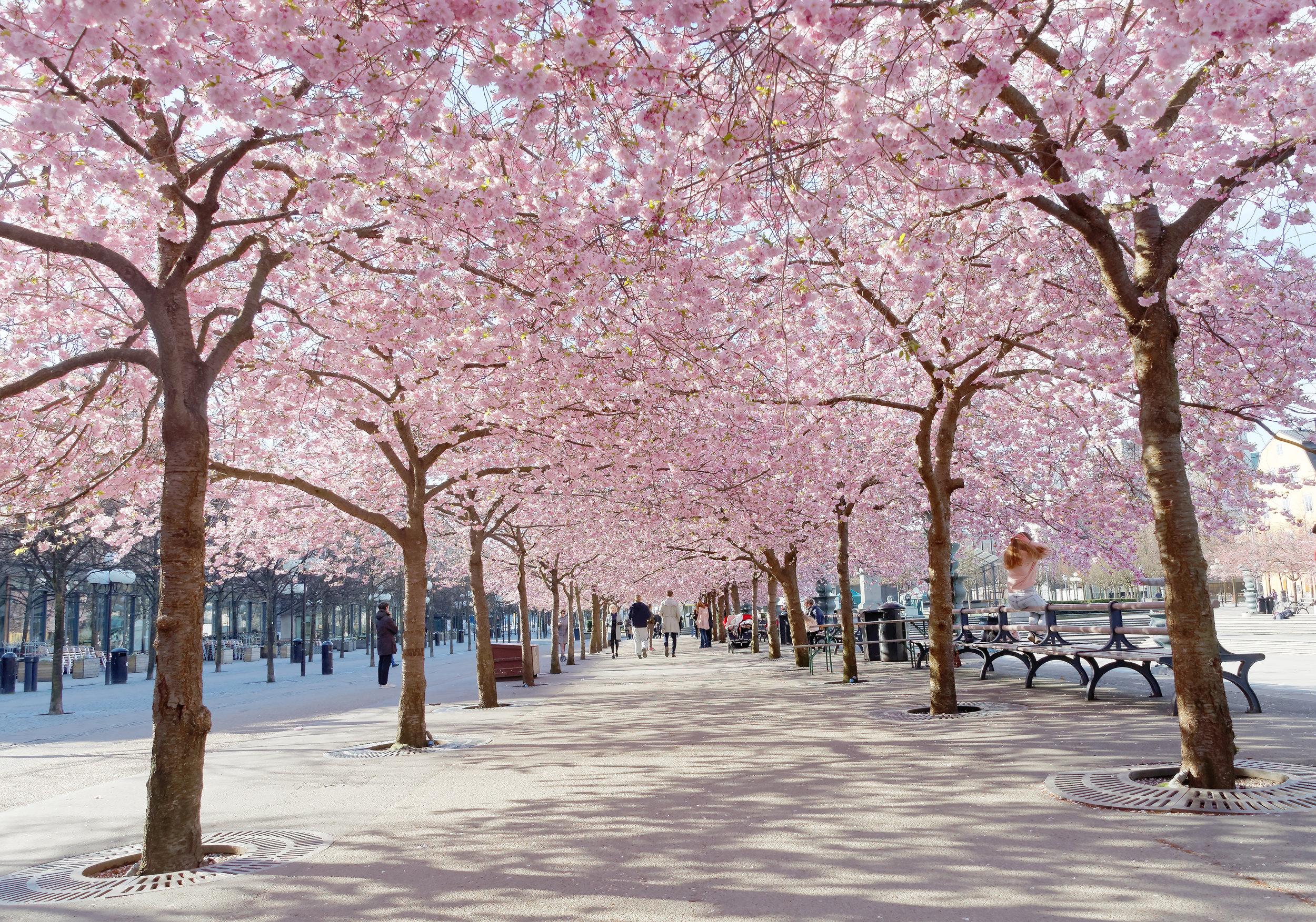 Körsbärsträd Kungsträdgården.jpg